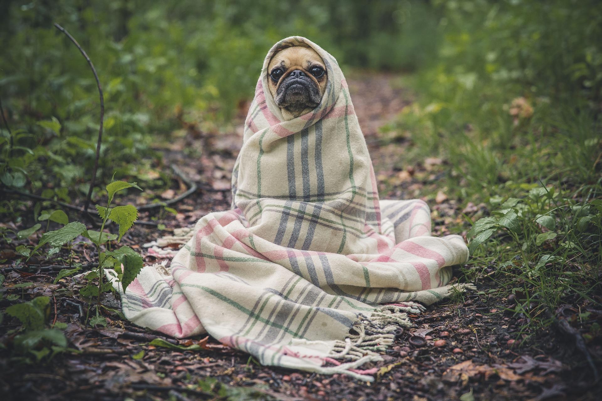 Come capire se il cane ha la febbre