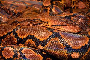 Come nutrire un serpente: cibi e abitudini da seguire