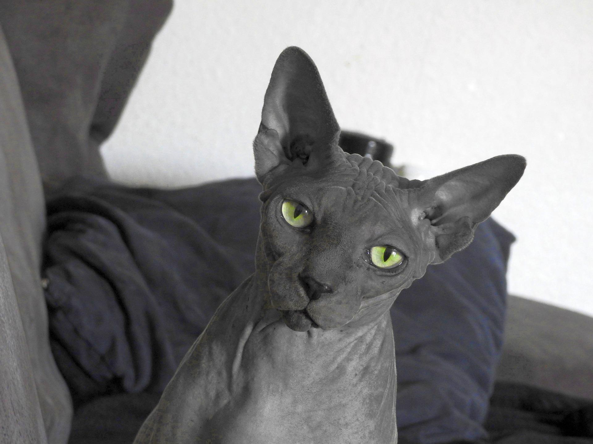 Razze di gatti con la S
