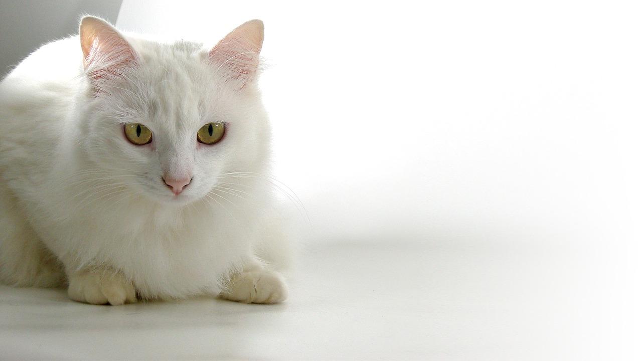 Le razze di gatti da appartamento da adottare