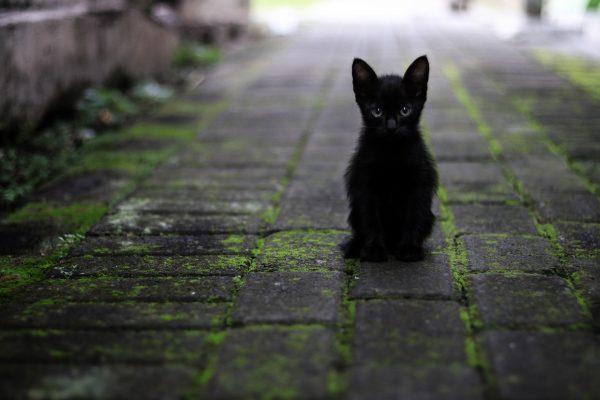 Gatti neri: le razze più diffuse e conosciute